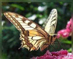 Жозе Муниц заработал миллион долларов на продаже бабочек