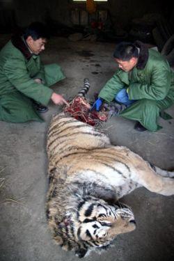 Тигр Шеньянского зоопарка из-за голода загрыз себе подобного
