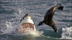 Дикая природа: охота акулы на тюленя (фото)