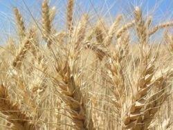 Россия: зерно за год подорожало в 2,5 раза