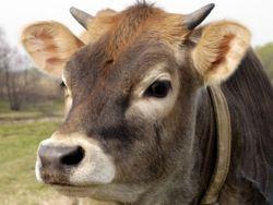 В Британии открылся сайт знакомств для коров и бычков