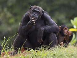Новость на Newsland: Люди и шимпанзе: общая генетическая стратегия в борьбе