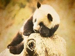 Раздвоенный половой член панды