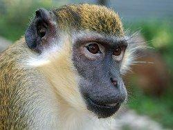 Новость на Newsland: Мартышке из красноярского зоопарка врачи удалили катаракту