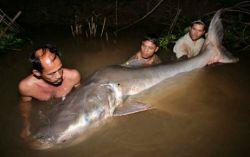 В Камбодже был пойман сом длиной 2,44 м