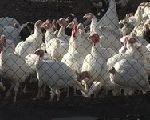 Птичий грипп в Великобритании взят под контроль