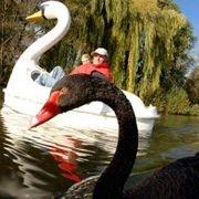 Лебедь, питающий нежные чувства к лодке, все еще влюблен