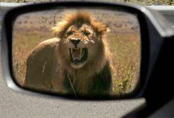 В США сбежавший лев напал на автомобили