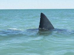 Новость на Newsland: Учёные призывают остановить истребление акул