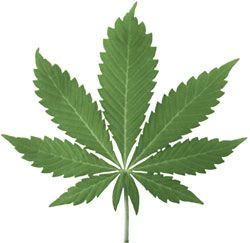 Голландия «стандартизирует» марихуану