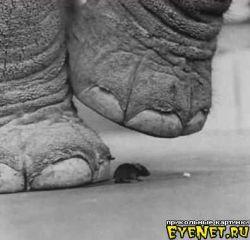 Боятся ли слоны мышей? (видео)