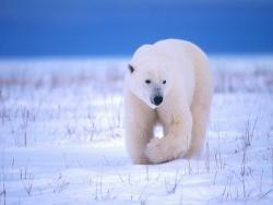 19. Белые медведи - одиночные животные, кроме...  20. Они способны голодать несколько месяцев в холодное время года...