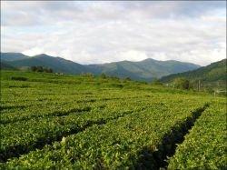 Сочинская Олимпиада сокращает чайные плантации
