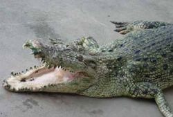 В Мариуполе наконец поймали сбежавшего крокодила, которого искали с лета 2007 года
