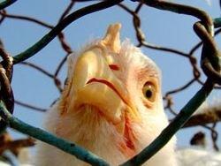 """""""Мутированный вирус птичьего гриппа сложно обнаружить"""""""