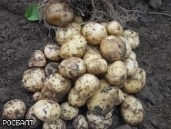 Кипр как стимул сажать картошку