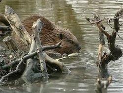 Беларусь: дикий бобер перекусил рыбаку артерию