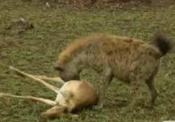 Интересный фрагмент из жизни дикой Африки (видео)