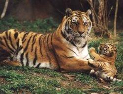 Создан банк ДНК крупнейшей популяции амурского тигра