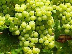 Новость на Newsland: Потребление винограда защитит от метаболического синдрома