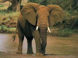 Слоны следят за своими родственниками