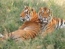 В Индии ловят охотников на тигров