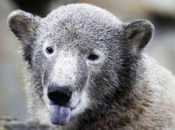 Приговоренный к смерти медведь Кнут отметил свой первый день рождения (фото)