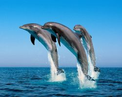 Дельфины дарят подругам букеты водорослей