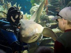 Новость на Newsland: Петербург: акулы расцеловали своего дрессировщика