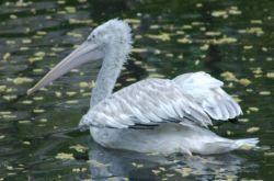 Огромного пеликана нашли в Ульяновской области