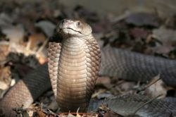 Найден новый вид кобры - ошейниковая кобра Эша
