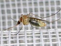Австрийские ученые нашли новый способ борьбы с комарами: противозачаточная пилюля для насекомых