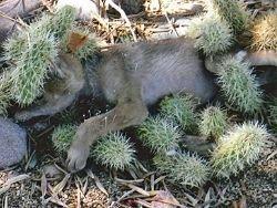 Новость на Newsland: В Аризоне спасли покрытого кактусами койота