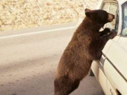 Новость на Newsland: На Сахалине попрошайничают голодные медведи