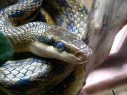 Грибковая болезнь добралась до змей