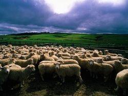 В Праге теперь пасутся стада овец и коз