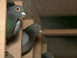 Китаец купил почтового голубя за 310 000 евро