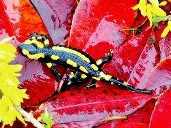 Изучение саламандр поможет восстанавливать утерянные конечности