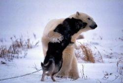 Дружба белого медведя и собаки (фото)