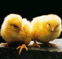 В Ростовской области выявлен вирус птичьего гриппа