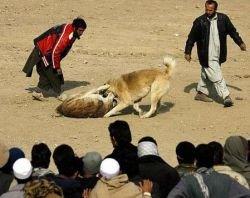 Собачьи бои популярны в Афганистане (фото)