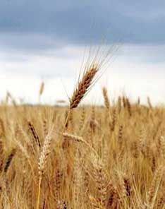 РФ может начать импорт зерна в Индию