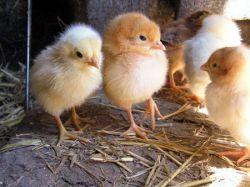Защитники домашней птицы и производители фуа-гра организовали акцию в Бордо