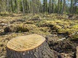 Лесничий позволил незаконно вырубить леса на 246 млн рублей