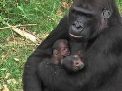 Редкое пополнение: горилла родила близнецов