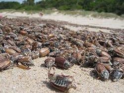 Новость на Newsland: Майских жуков тоннами вывозят с пляжей Паланги и Клайпеды