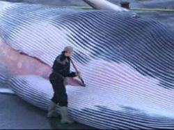 Новость на Newsland: Вымирающие киты идут на корм собакам