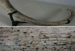 Американские ученые нашли в бивнях мамонтов доказательства метеоритного взрыва