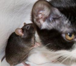 """Японские ученые вывели \""""мышь-ниндзя\"""" (фото)"""