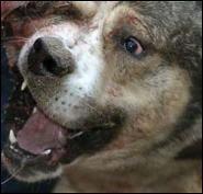 Индиец искусал бешеную собаку, которая покушалась на его уток